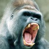angry_gorilla